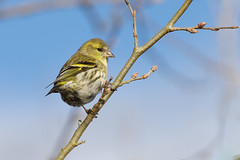 K32P9146c Siskin, Lackford Lakes, January 2019 (bobchappell55) Tags: lackfordlakes wild wildlife nature bird suffolk woodland siskin carduelisspinus