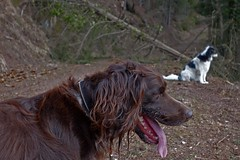 BEN(NY) & PHILETTA (LitterART) Tags: tiere animaux animals münsterländer dogs hunde chiens