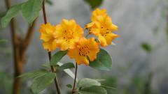 kleine Sonnen (1elf12) Tags: botanika rhododendron bremen germany deutschland flower blume