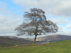 The Lone Tree, Highland Wildlife Park, Kincraig, Mar 2019 (allanmaciver) Tags: lone tree highland wildlife park kincraig scotland big solitary alone survivies allanmaciver