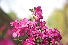 0B6A1621 (Bill Jacomet) Tags: azalea azaleas flower flowers houston tx texas 2019