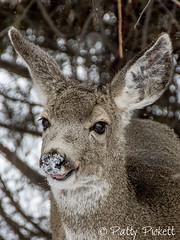 mule deer (Pattys-photos) Tags: muledeer pattypickett4748gmailcom pattypickett