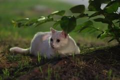 White Cat (Flexible Negativity) Tags: 猫 cat 貓 meow ねこ caturday nuko k70 pentax whitecat