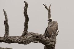 Vulture (Rorals) Tags: southafrica bird wildlife safari kruger птушка ptica птица pták fugl vogel lind lintu oiseau πουλί madár éan uccello putns paukštis għasfur ptak pássaro pasăre vták pájaro fågel птах vulture