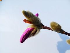 """Rosa Stern-Magnolie - Magnolia stellata Rosea (2 von 13er-Serie) (warata) Tags: 2019 deutschland germany süddeutschland southerngermany schwaben swabia oberschwaben """"upper swabiaschwäbisches oberland badenwürttemberg fruhling spring blume blüte pflanze natur """"magnolia stellata rosea"""" sternmagnolie magnolie"""