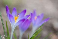 Colours of spring (Renate van den Boom) Tags: 03maart 2019 bloemenenplanten europa gelderland jaar krokus maand nederland renatevandenboom wageningen