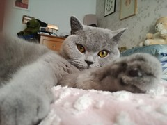 Mia, March 2019 (alljengi) Tags: britishshorthair britishblueshorthair britishshorthaircat cat 2019 mia ted