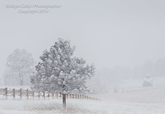 The Tree Stands Alone (Bridget Calip - Alluring Images) Tags: 2019 alluringimagescolorado bridgetcalip buffalo colorado jeffersoncounty winter allrightsreserved bison cold coniferioustrees copyrighted elk fog freezing frostytrees genesee heard lowvisibility overlook snow snowcovered