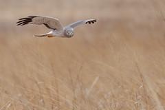 _KEF8655 (Kevin E Fox) Tags: grayghost northernharrier male raptor bird birding birdwatching birds birdofprey birdinflight birdphotography sigma150600sport sigma nature nikond500 nikon newjersey polefarm