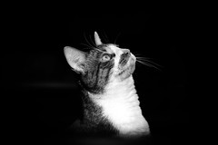 Look Up (Nicholas Erwin) Tags: cat animal pet luke kitty kitten feline meow lowkey blackandwhite monochrome bw mono fujifilmxt2 fujixt2 meike3514 meike35mmf14 meike fav10 fav25 fav50