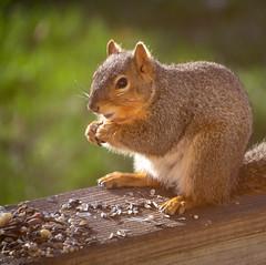 DSC_6189-1 (ds1548313) Tags: animals home kansas places squirrel wellington