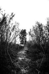 La senda del árbol tenebroso (David J. Quintero) Tags: árbol altocontraste bn nature naturaleza