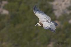 Vautour fauve (Tifaeris) Tags: accipitridés accipitriformes aragon espagne griffonvulture gypsfulvus sarsamarcuello vautourfauve bird oiseau