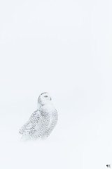 ''La pureté!'' Harfang des neiges-snowy owl (pascaleforest) Tags: oiseau bird animal passion nature nikon white blanc owl hibou wild wildlife faune québec canada winter hiver tempêtstorm storm tempête