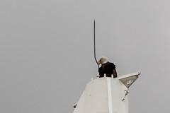 Canada Place Bald Eagle (_K1_6117) (Ross G. Strachan Photography) Tags: baldeagle britishcolumbia canada vancouver animal bird birdofprey wild wildlife ca