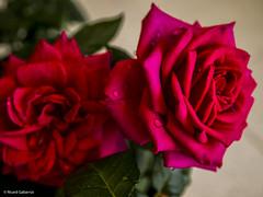 2689  Rosas (Ricard Gabarrús) Tags: flores flors natura jardin botanica naturaleza ricardgabarrus planta olympus ricgaba