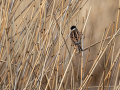 Reed Bunting) (dudutrois) Tags: reedbunting oxwich