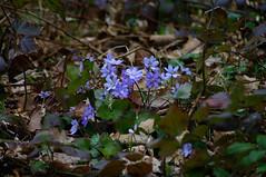Leberblümchen (captain.orange) Tags: wald leberblume blau blüte frühling pentaxart aggstein niederösterreich österreich at
