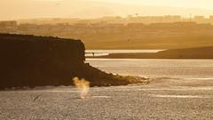 The wildlife of Reykjavík (danielfj91) Tags: iceland reykjavik whale sunset amazing wildlife winter whales sea ocean mammal land sun light dramatic