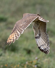 Marsh Owl (Asio capensis) in flight. (Mark Vukovich) Tags: marsh owl asio capensis bird ndutu tanzania