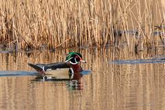 Wood Duck (mattbpics) Tags: woodduck duck waterfowl 70d canon tamron 150600 150600mm nwr stewartbmckinney tamronsp150600mmf563divcusda011