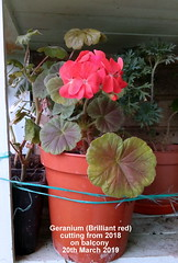 Geranium (Brilliant red) cutting from 2018 on balcony 20th March 2019 (D@viD_2.011) Tags: geranium brilliant red cutting from 2018 balcony 20th march 2019