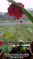 Geranium (brilliant red) cutting flowering in bedroom window 20th March 2019 (D@viD_2.011) Tags: geranium brilliant red cutting flowering bedroom window 20th march 2019