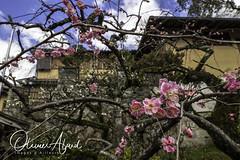 Japan19Ky_IO_1147-1 (oalard) Tags: japan japon canon 1dmkiv kyoto flower fleur