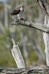 Osprey with Fish (Hamilton Images) Tags: osprey pandionhaliaetus bird feathers canon 7dmarkii 500mm 14xteleconverteriii orlandowetlands christmas florida march 2019 img9819