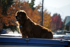 DSC_4227 (digifotovet) Tags: dog large pickup