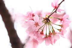 IMG_7010M Cherry blooming (陳炯垣) Tags: spring blooming blossom flower floral petal sakura さくら 櫻花