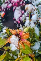 Snowed Flower (Bracus Triticum) Tags: snowed flower flora アルバータ州 alberta canada カナダ calgary カルガリー 9月 九月 長月 くがつ kugatsu nagatsuki longmonth 2018 平成30年 fall autumn september