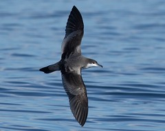 Ardenna bulleri 3 (Manning and Hastings Birds) Tags: pelagic birds macleay valley south west rocks nsw barry m ralley barrymralley ardenna bulleri bullers shearwater