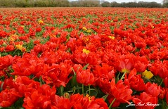 'Les Tulipes de la Torche' Plomeur / Bretagne (jean-paul Falempin) Tags: tulipes fleurs