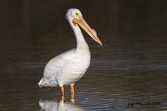American White Pelican (Jmawnster) Tags: pelican americanwhitepelican pelecanuserythrorhynchos
