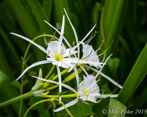 Spider Lilies at Park Entrance