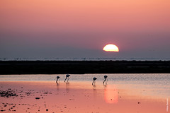 Sunrise in Camargue (Mary Bassani) Tags: camargue canonphotographer canonwildlifephotographer landscape flamingo sunrise pink colors panorama