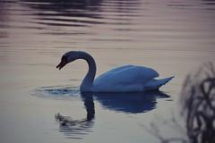 Schwanensee (Lilith-Luana) Tags: schwan sonnenuntergang spiegelung wasser fluss main mainfranken water swan sunset