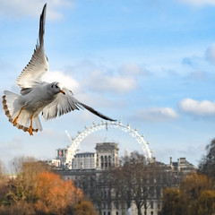 No matter how much i roll this it stays in the same place (Paul Wrights Reserved) Tags: seagull london eye londoneye bird birding birds birdphotography birdinflight bif cloud sky skyscape ball roll rolling bowling sport action