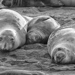Elephant seals at San Simeon thumbnail
