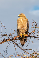 Tawny Eagle on Acacia Tree, Serengeti National Park (Jill Clardy) Tags: africa animal bird tanzania vantagetravel safari 201902249l8a1383 mararegion tz tawny eagle accipitridae prey acacia tree prickly needles serengeti national park
