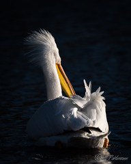 20190408-DSC_7290.jpg (GrandView Virtual, LLC - Bill Pohlmann) Tags: bird americanwhitepelican wisconsin wildlife waterfowl stcroixriver northhudsonwi