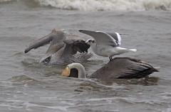Brown Pelican, Laughing Gull (1krispy1) Tags: pelican brownpelican texasbirds