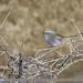 White-browed Tit Warbler (Leptopoecile sophiae)