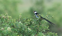 Pin-tailed Whydah (douwesvincent) Tags: nature uganda oeganda africa world earth eco natural outdoor safari wild open holiday trip birding explore green flora fauna life