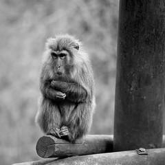 ✪ お~寒っ! 犬山モンキーセンター (haguronogoinkyo) Tags: nikon d610 japan 愛知 猿 ボス 日本もモンキーセンター monkey center boss 冬 寒い winter cold