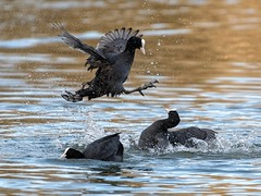 coot wars ( this guy watched the matrix ) (Happy snappy nature) Tags: coots fighting battle nature wild wildlife outdoors shropshire nikond500 nikon200500