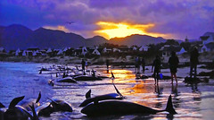 South Africa - Killer whales stranded on a beach! (Jacques Rollet (Little Available)) Tags: orca mer sea plage beach poisson fish africa water groupenuagesetciel
