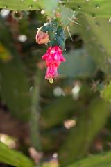 IMG_1287 (jaglazier) Tags: 122018 2018 cactus cerrosantalucia chile december flowers plants pricklypear red santalucia santiago urbanism cities copyright2018jamesaglazier gardens parks