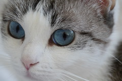 Yeux de chat / Cat's eyes (Sam Photos - Sony full frame) Tags: chat chats cat cats yeux eyes eyelash human soul blue biki animal de compagnie macro crop gato yeuxdechat catseyes
